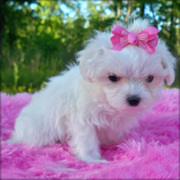 maltese puppies for caring homes