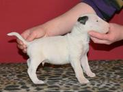 OUR Bull Terrier IS TO GOOD HOME