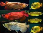 Best Quality Arowana Fishes For Supply..