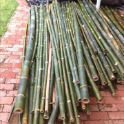 Bamboo Poles Freshly cut 100mm Dia. and 3.0 Mts long