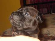 PUREBREED ENGLISH STAFFY PUPS